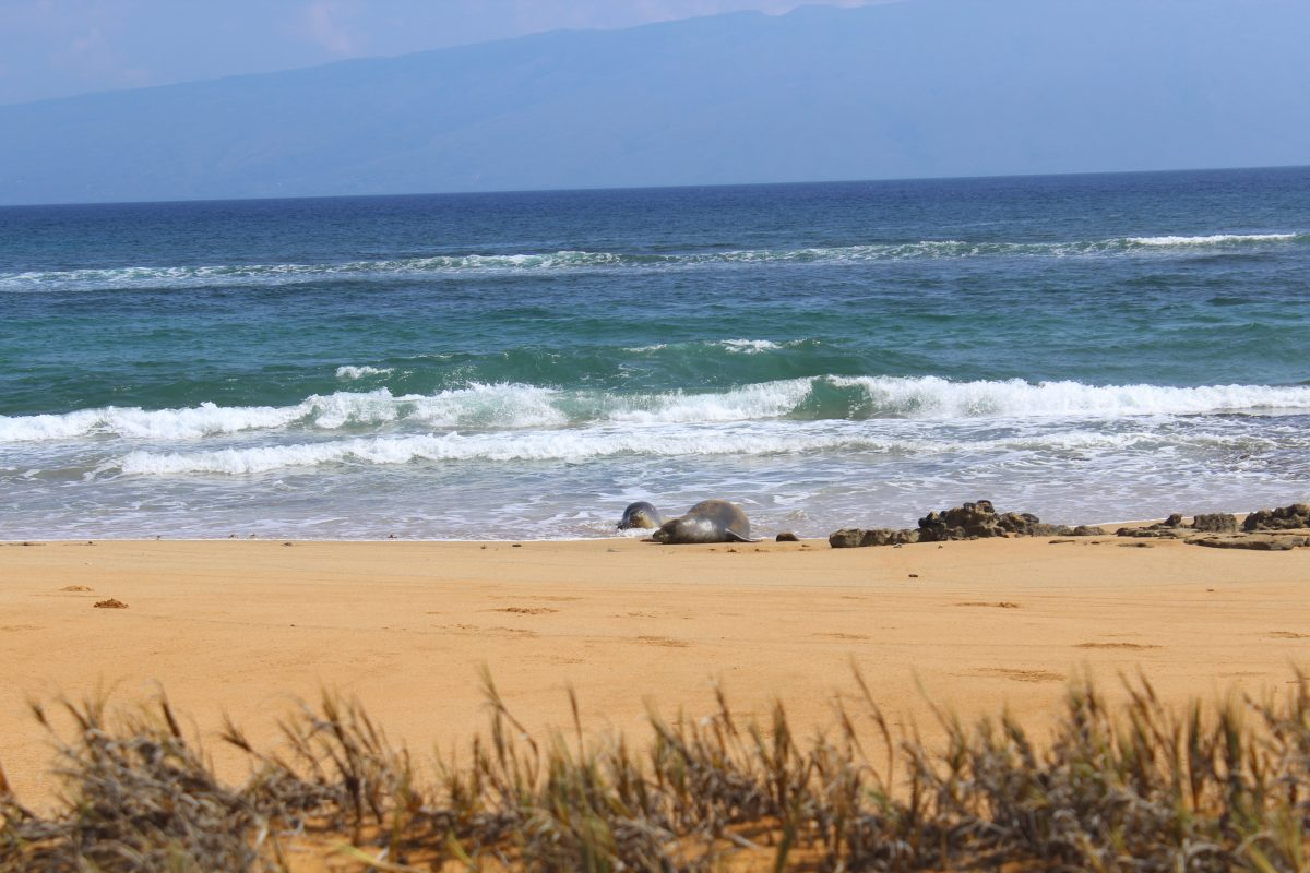 Photo of monk seals lying on Lanai beach.