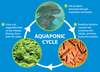 Graphic showing aquaponic cycle.