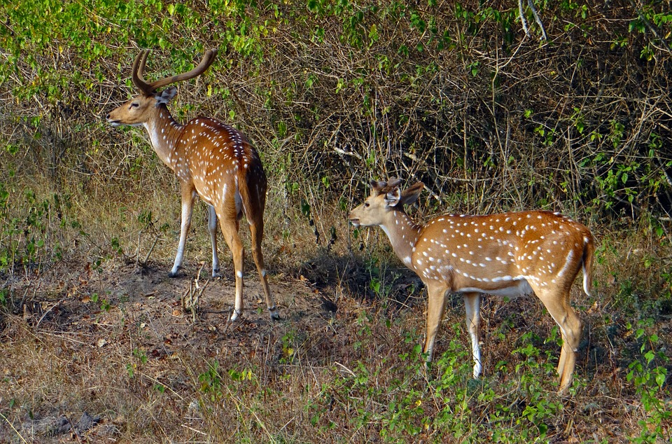 Photo of Lanai axis deer standing in forest.